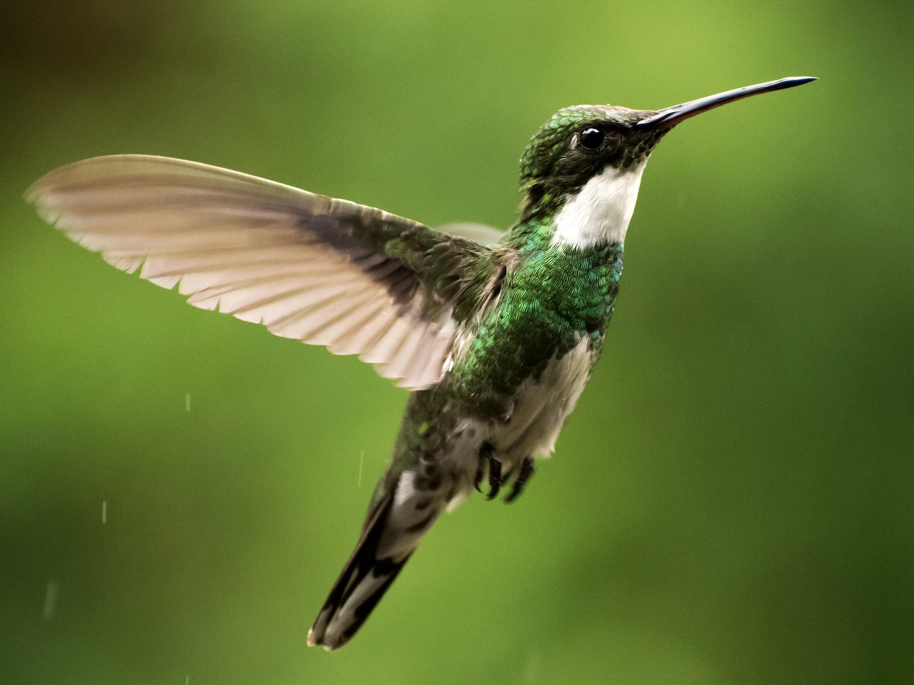 White-throated Hummingbird - Luiz Carlos Ramassotti