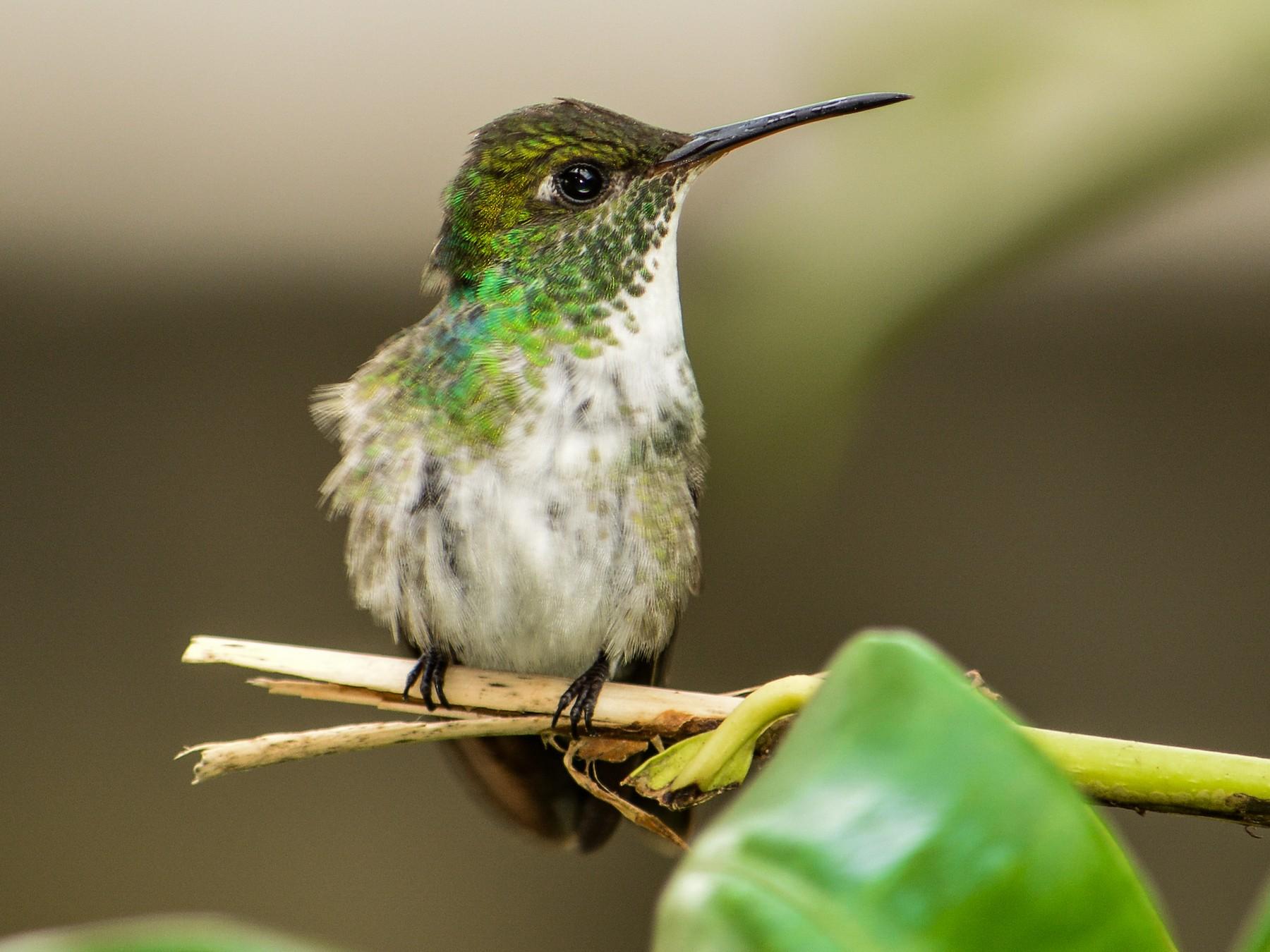 Versicolored Emerald - João Gava Just