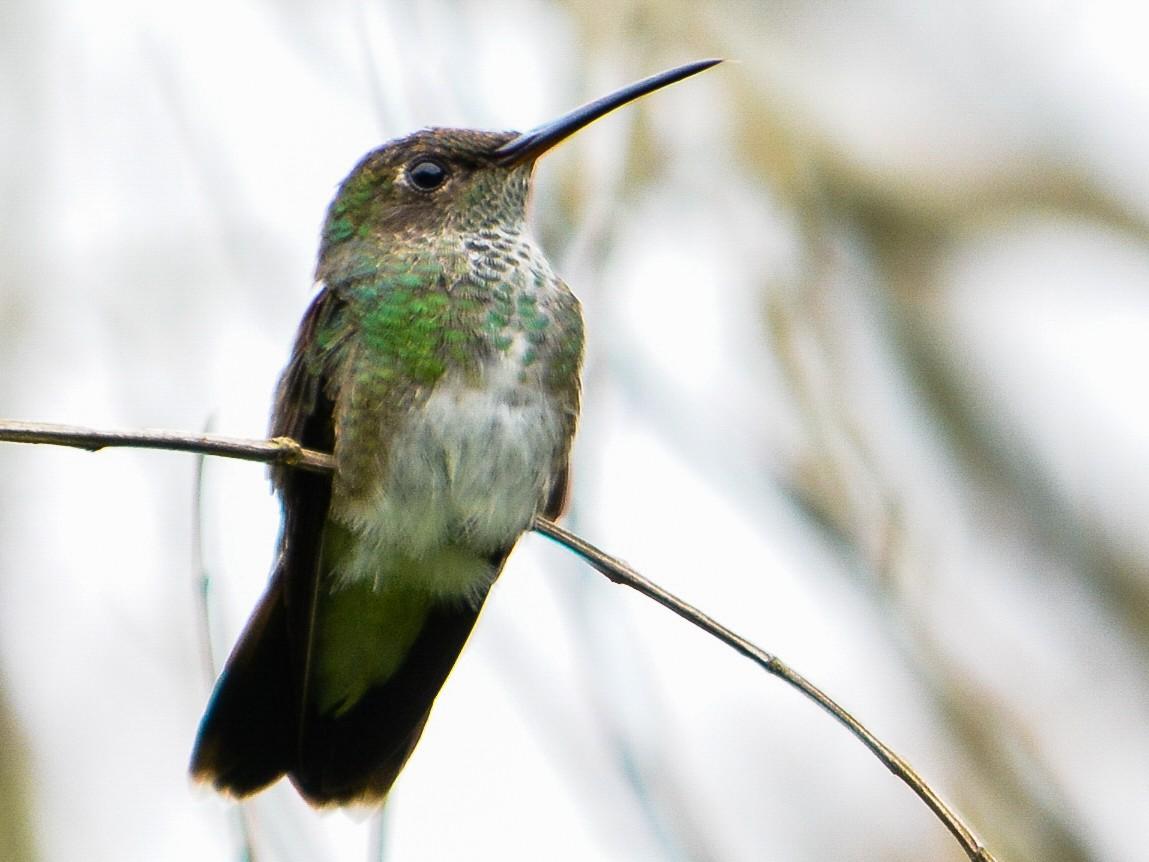 Glittering-throated Emerald - João Gava Just