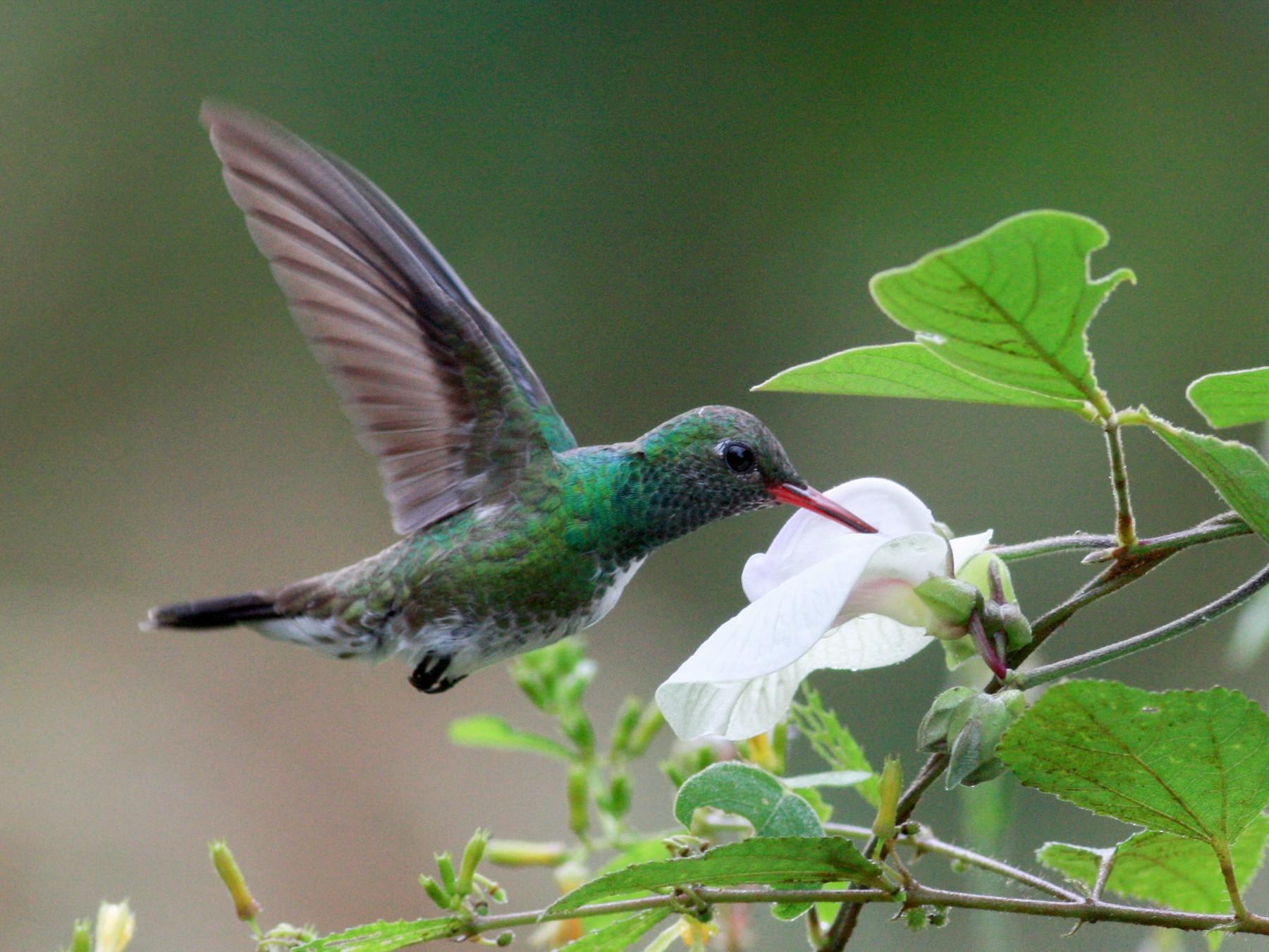Glittering-throated Emerald - Jay McGowan