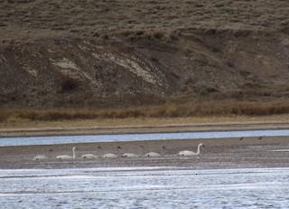 Tundra Swan, ML76920871