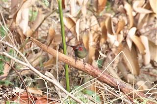 - Red-faced Crimsonwing