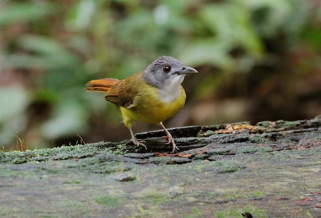 Yellow-bellied Bulbul