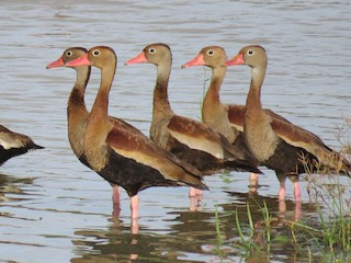 Black-bellied Whistling-Duck, ML76952821