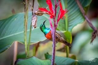 - Olive-bellied Sunbird