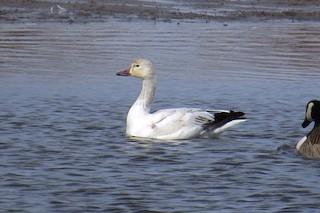 Snow Goose, ML77157271