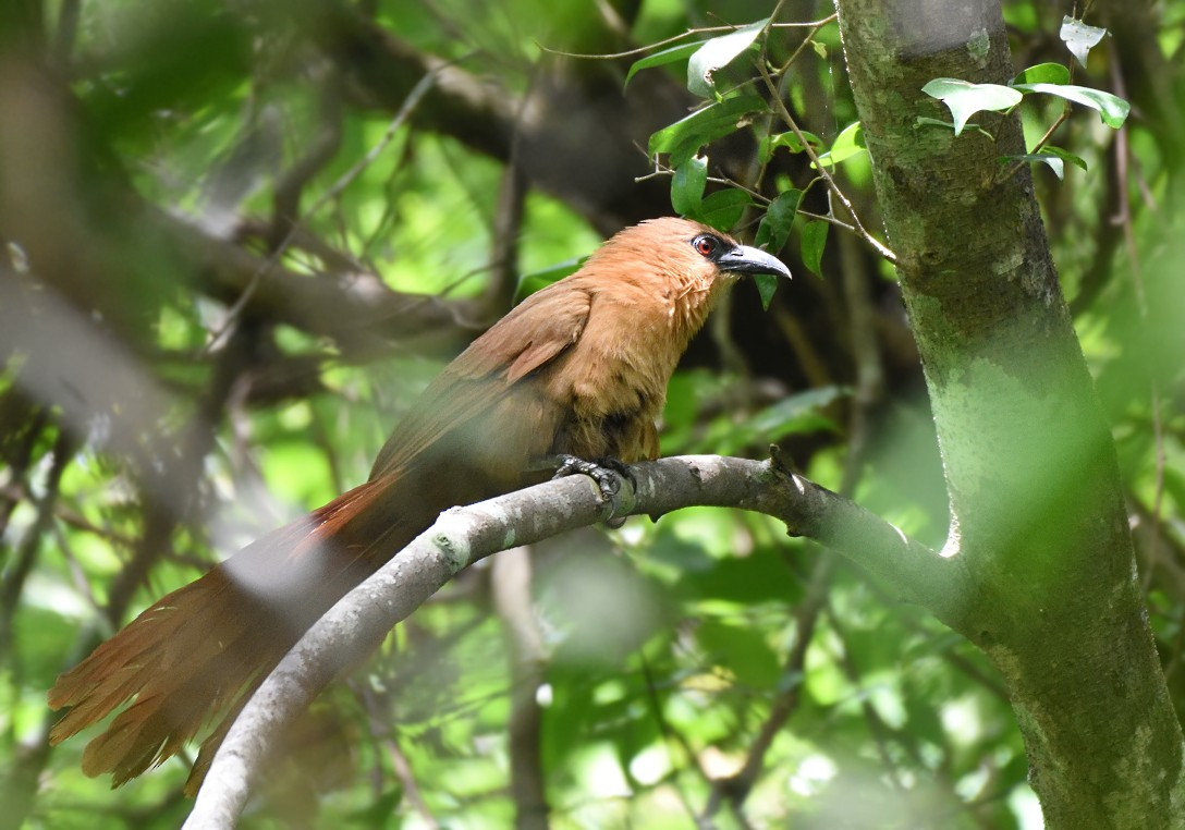 Bay Coucal - Prayitno Goenarto