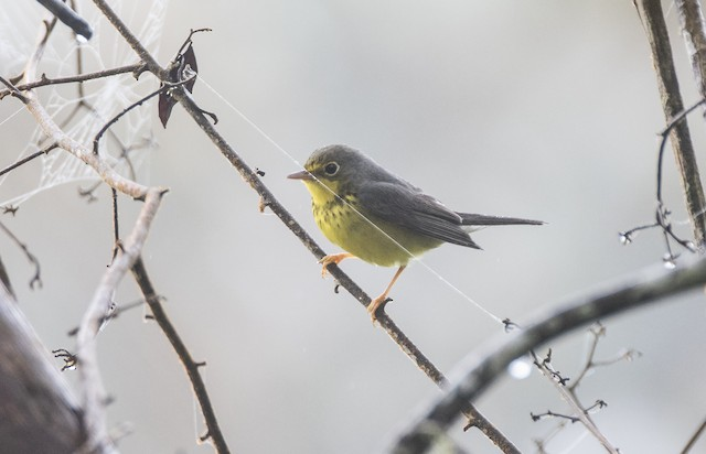 Possible Formative male Canada Warbler (22 October).
