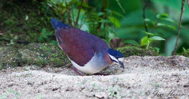 Purple Quail-Dove