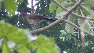 Rufous-headed Chachalaca, ML77332271