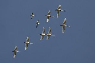 Ross's Goose, ML77399191