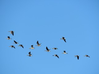 Greater White-fronted Goose, ML77403681