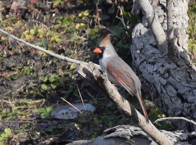 Non-phaeomelanic female Northern Cardinal.