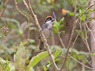 - Bay-crowned Brushfinch
