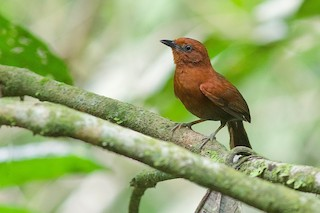 - Chestnut-throated Spinetail