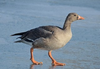 Greater White-fronted Goose, ML77558071