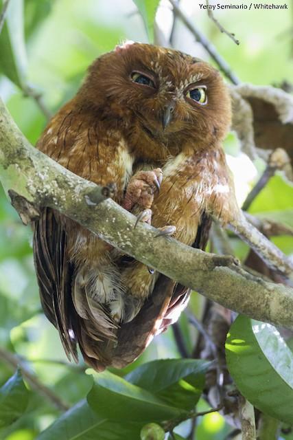 Malagasy Scops-Owl