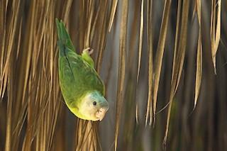 - Gray-cheeked Parakeet