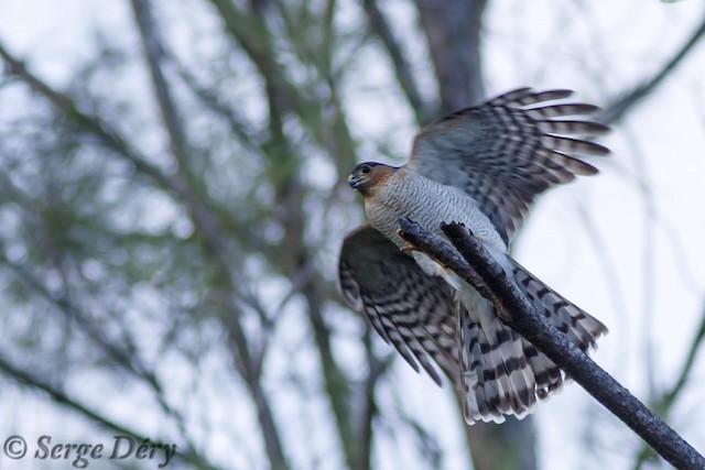 Sharp-shinned Hawk (Caribbean)