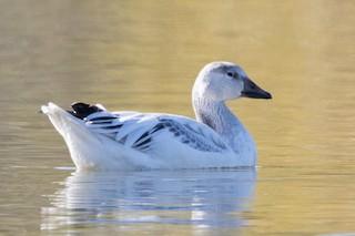 Snow Goose, ML77810421