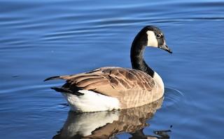 Canada Goose, ML77938401