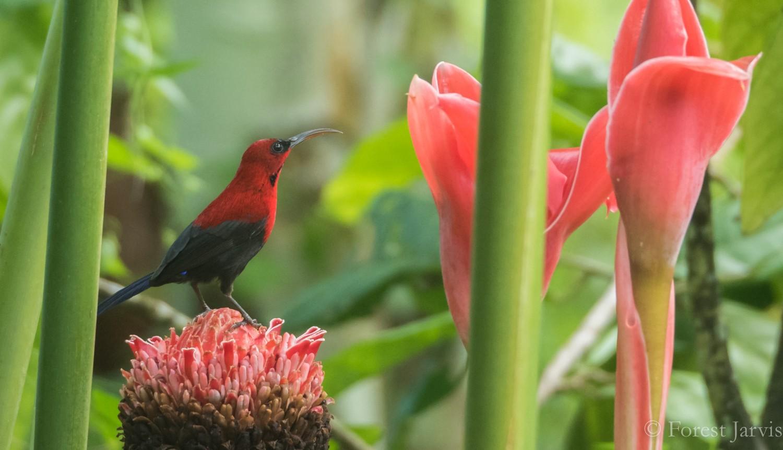 Magnificent Sunbird - Forest Jarvis