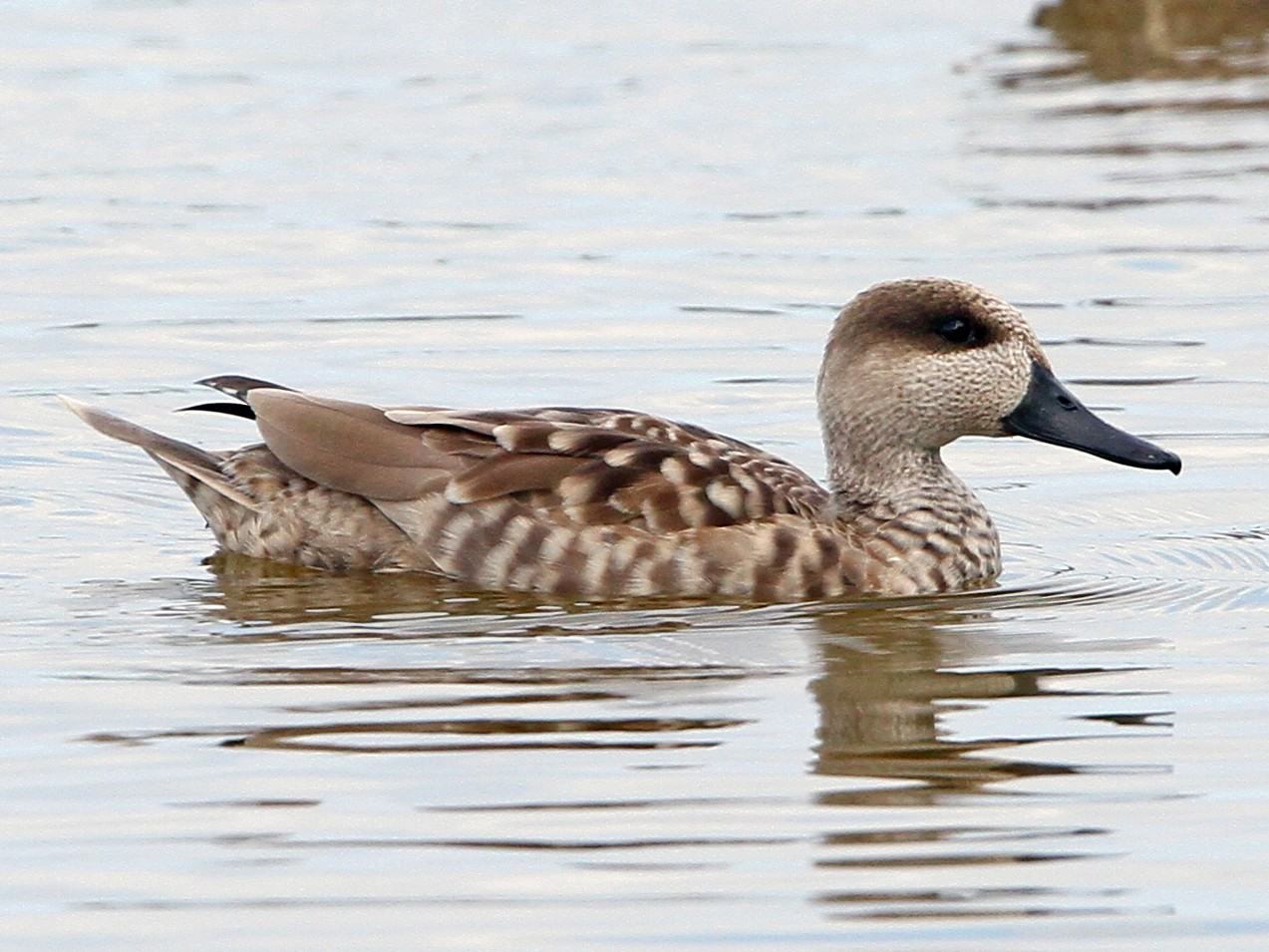 Marbled Teal - Christoph Moning