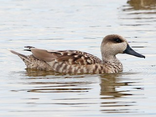 - Marbled Teal