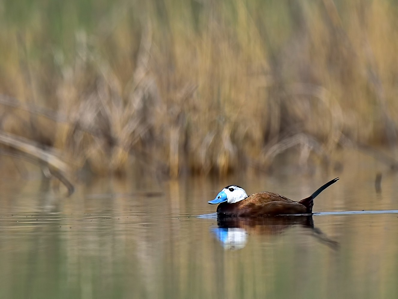 White-headed Duck - Ferit Başbuğ