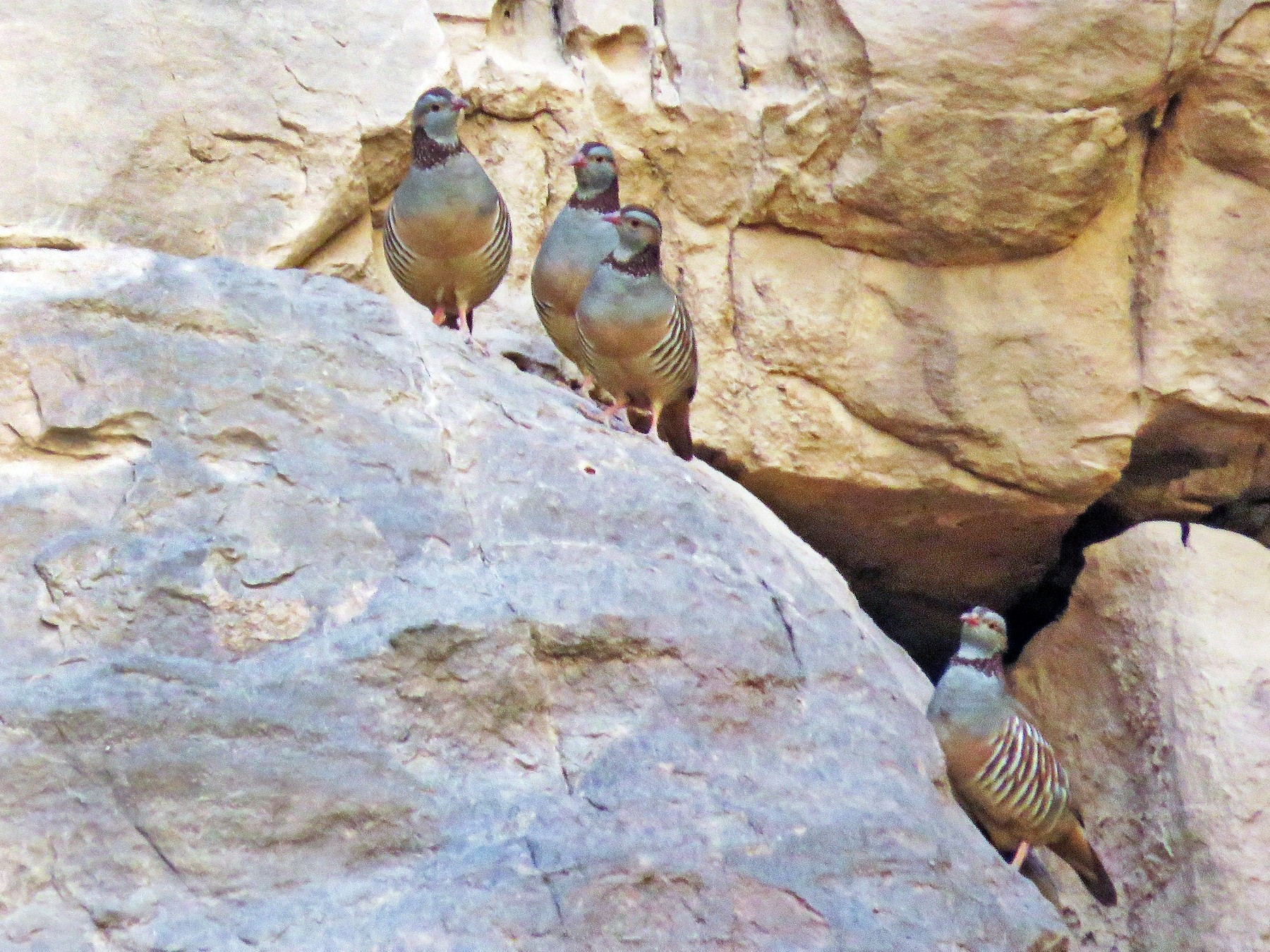 Barbary Partridge - khaled Ayyach