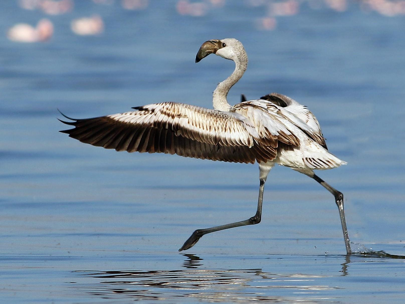 Lesser Flamingo - Andrew Spencer