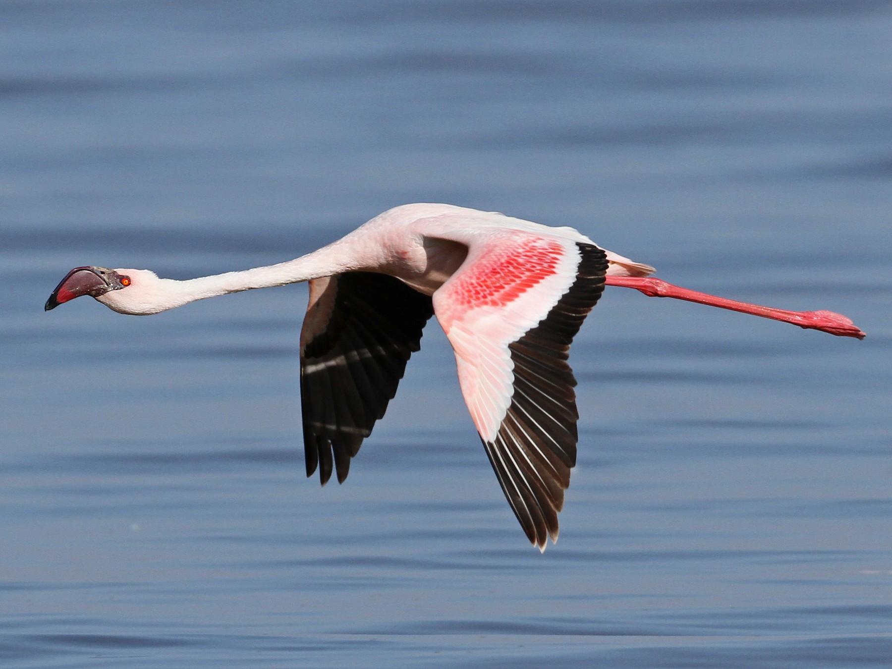 Lesser Flamingo - Luke Seitz