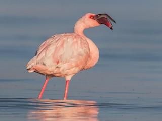- Lesser Flamingo
