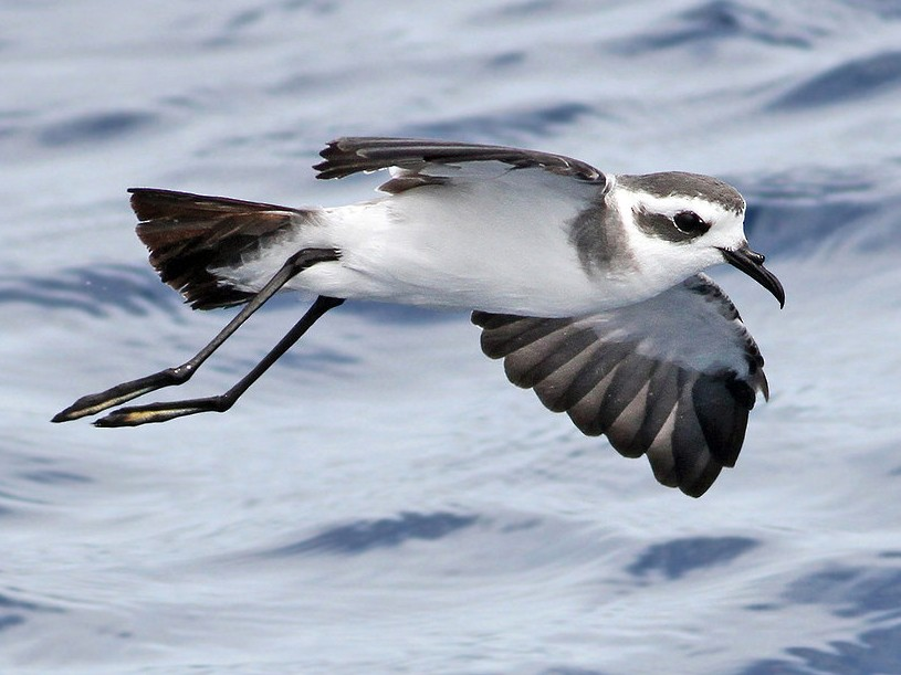 White-faced Storm-Petrel - Jeremiah Trimble
