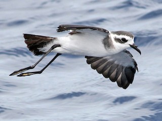 - White-faced Storm-Petrel
