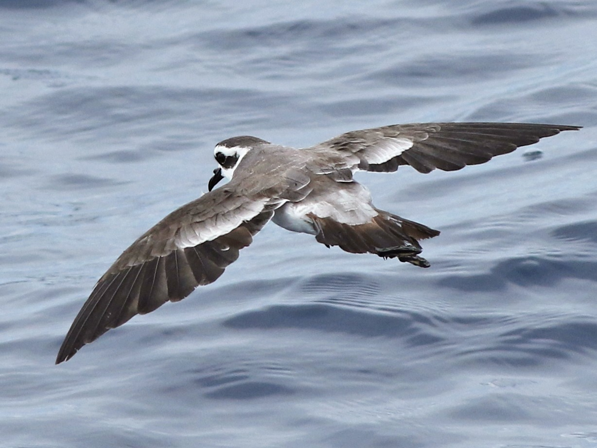 White-faced Storm-Petrel - Luke Seitz
