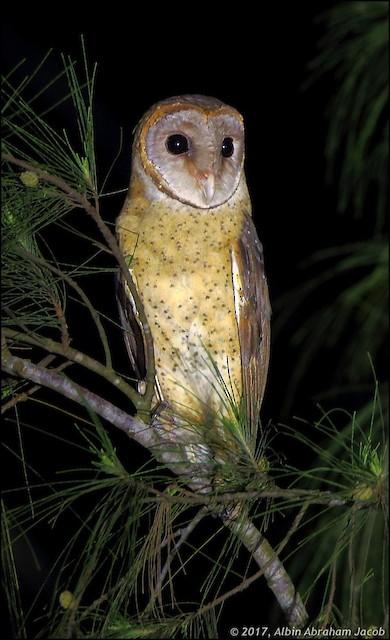 Andaman Masked-Owl