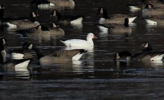 Ross's Goose, ML78042451