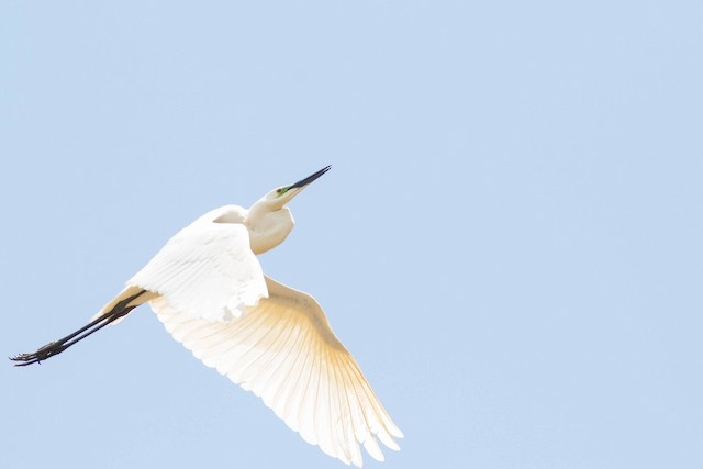 Great Egret (African)