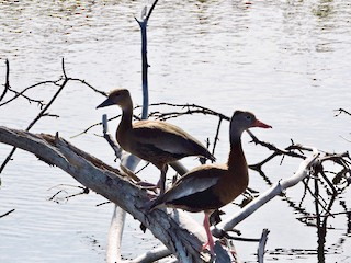 Black-bellied Whistling-Duck, ML78177981