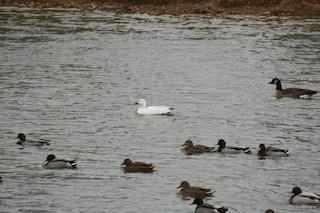 Snow Goose, ML78228241