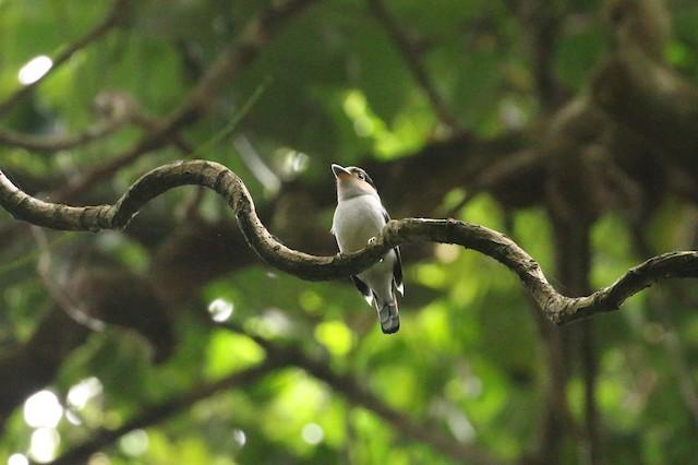 Silver-breasted Broadbill (Silver-breasted)