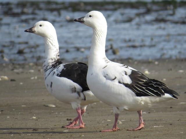 Snow Goose x Brant (hybrid)