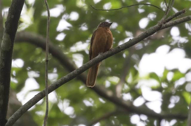 Rufous Flycatcher-Thrush