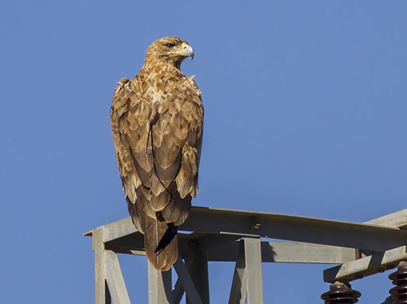 Spanish Eagle - Javi Elorriaga