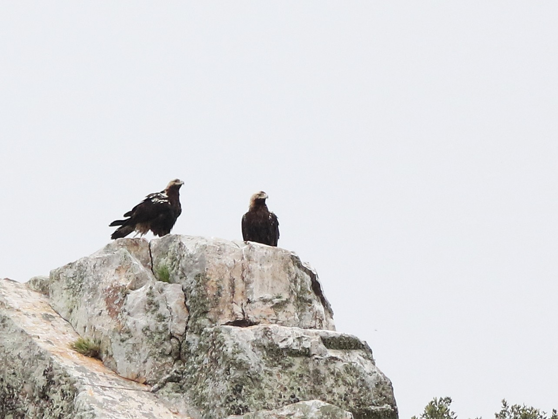 Spanish Eagle - Daniel Jauvin
