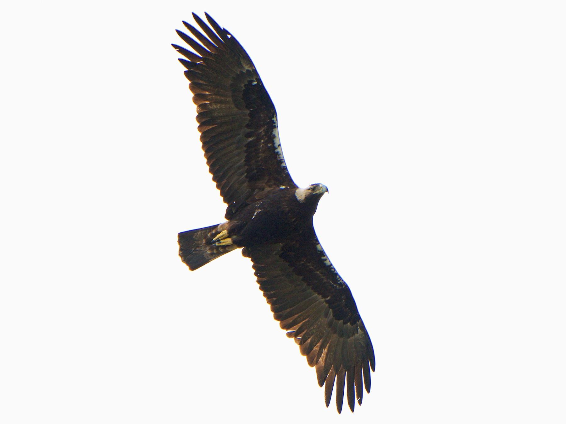 Spanish Eagle - John C. Mittermeier