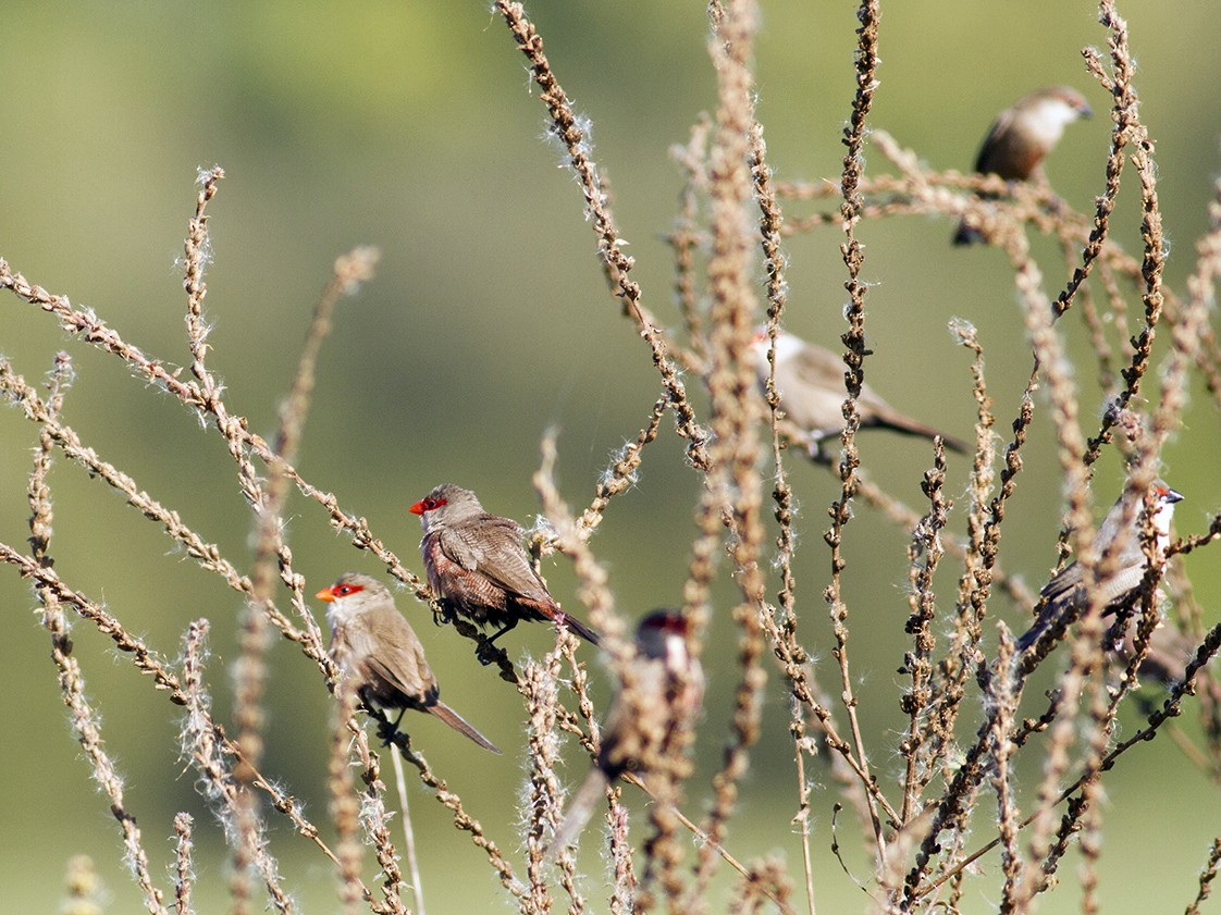 Common Waxbill - Vasco Flores Cruz