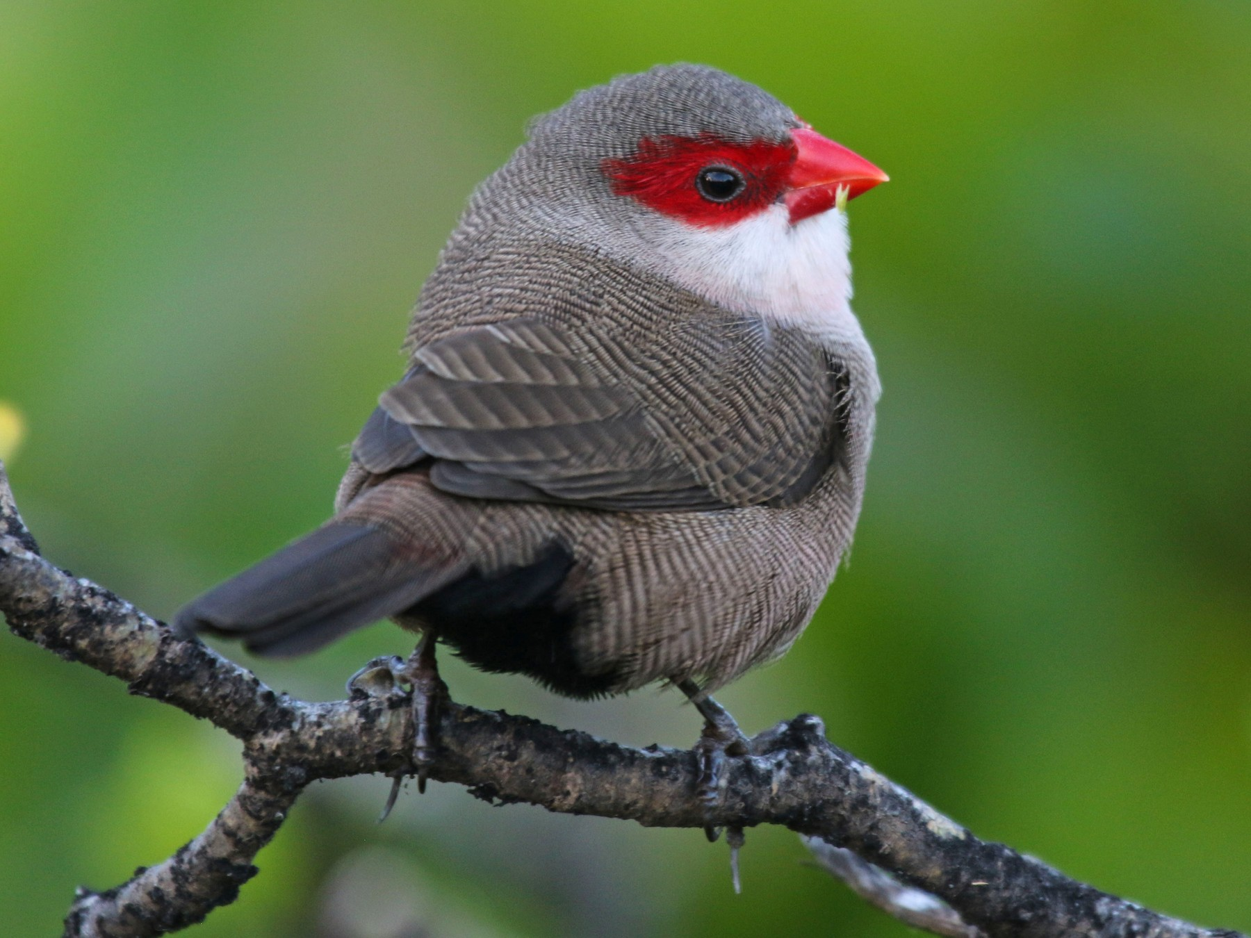 Common Waxbill - Gale VerHague