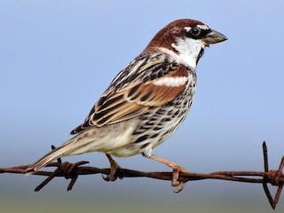 - Spanish Sparrow